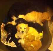 Just 3 Left Pra Cockerpoo Puppy's Ready Now