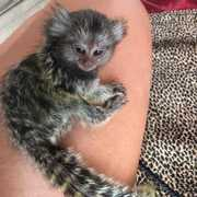 NV Adorable Twin Pygmy Marmoset and Capuchin 07031957695
