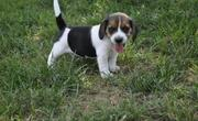 Playerful Beagle Puppies for sale