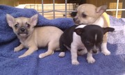 BEAUTIFUL CHIHUAHUA PUPPIES  FOR ADOPTION